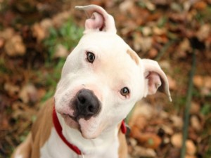 Pitbull-Dog-Smiling-300x225
