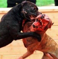 pitbull-fight-_twid