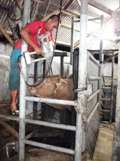 krava-ubistvo