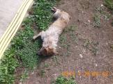 ubijen-pas