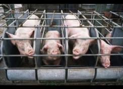 farme svinja1