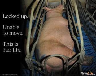 kavez za svinje